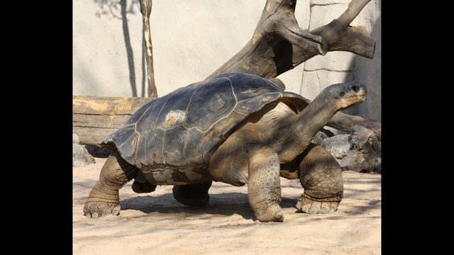 Zoo says goodbye to Elvis the Galapagos tortoise