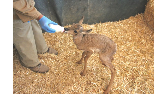 It's a Boy! El Paso Zoo Welcomes Pronghorn Fawn